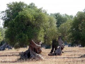 sajndivanused oliivipuud